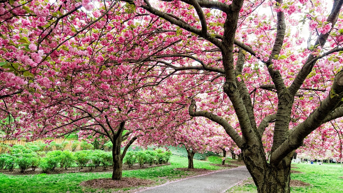 Brooklyn has various kinds of cherry trees that blossom at different times, which makes it an ideal spot for seeing this phenomenon.