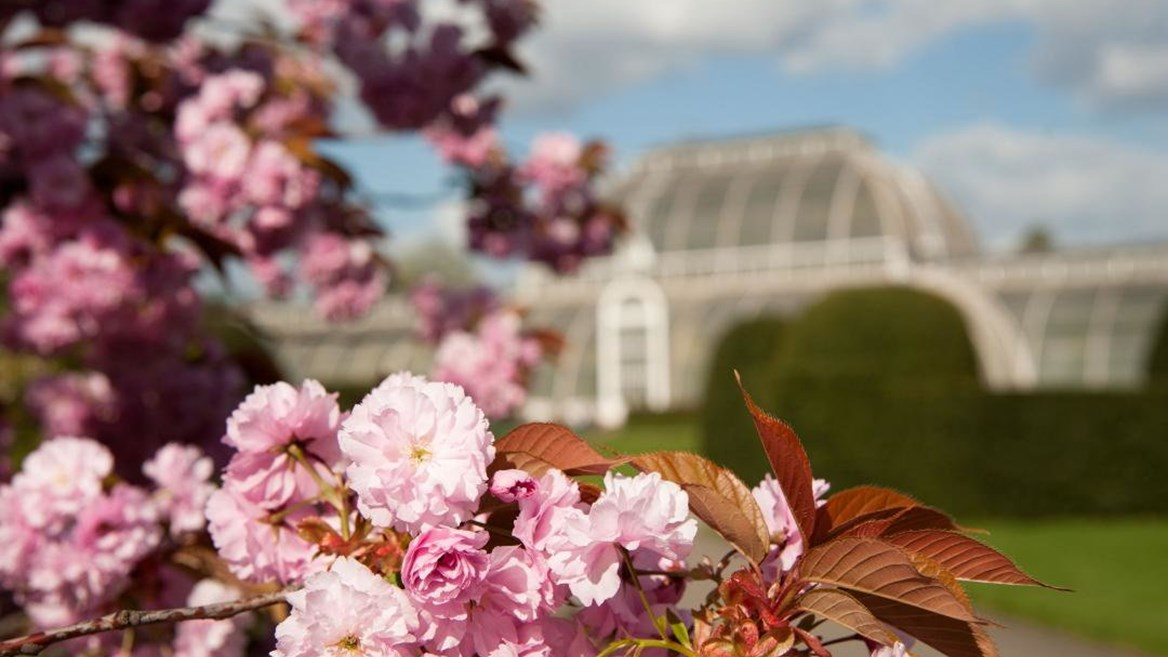 London's botanical garden –Kew Gardens– is also home to a dense community of cherry trees