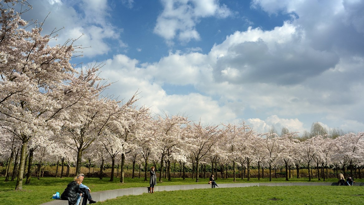 Cherry blossom at Amsterdam Bos