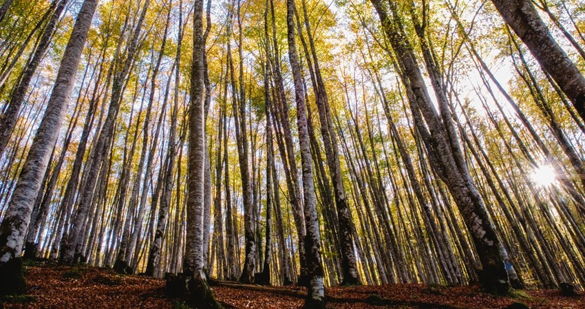 One of the most spectacular beech forests in Europe: the Irati forest.